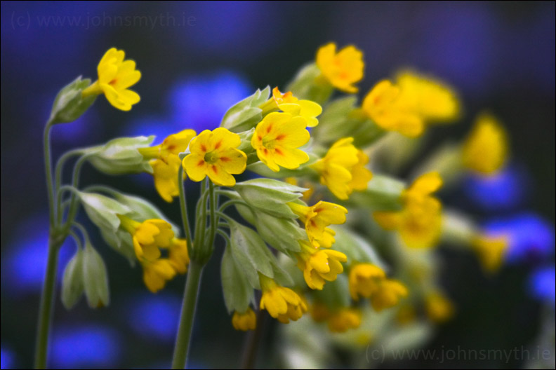 Cowslips and Forget-Me-Nots